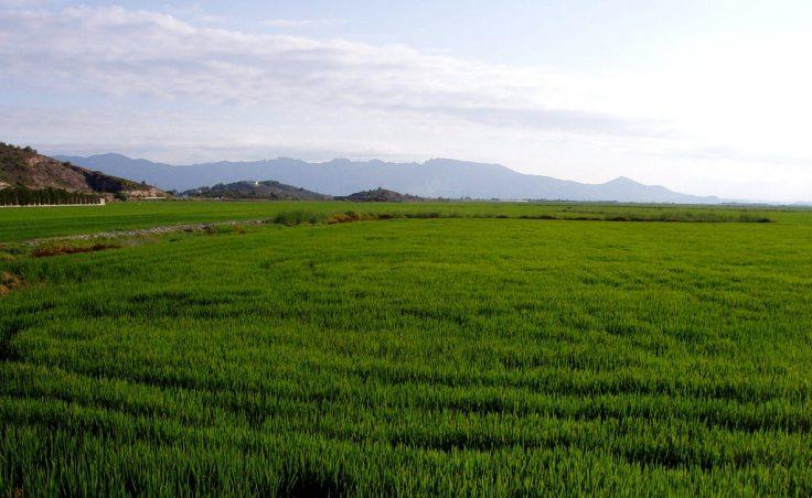 Campos de arroz, Cullera (Ribera Baixa)